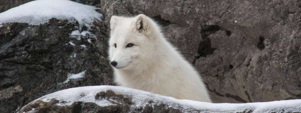 Arctic fox on snowy rock