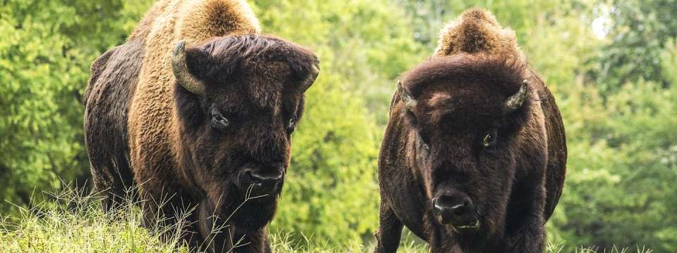 Two bison on the prairie