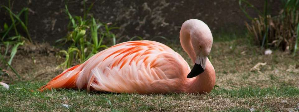 Chilean flamingo laying down