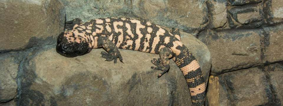 Gila monster on rock