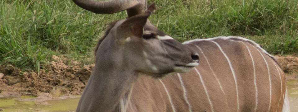 Greater kudu profile of face