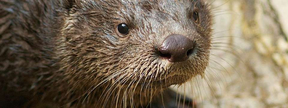 River otter face close-up
