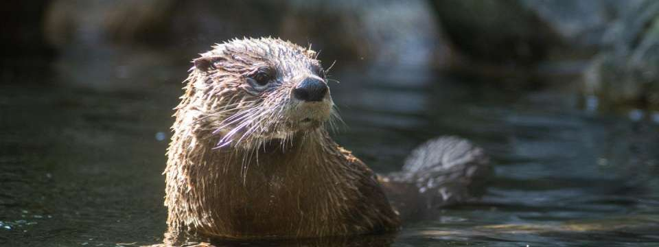 North American river otter head out of water