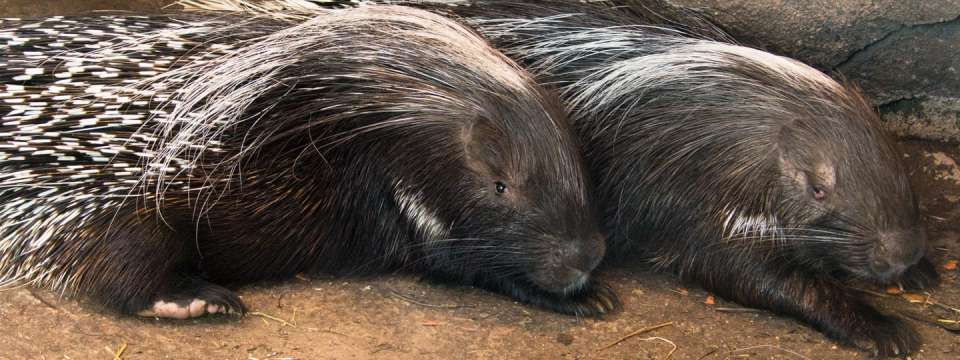 Two Cape porcupine lying down