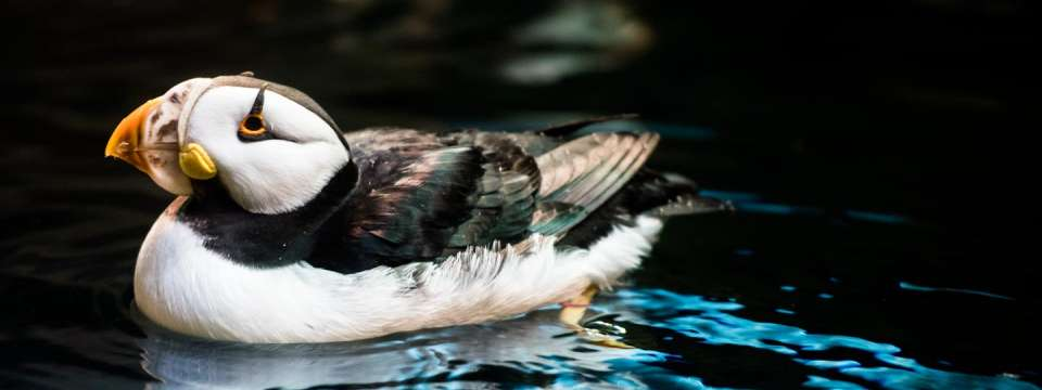 Horned puffin in water