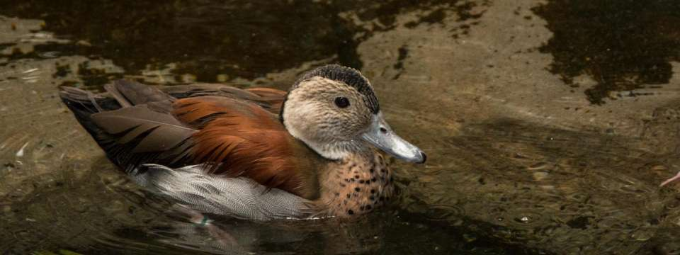 Ringed teal in water