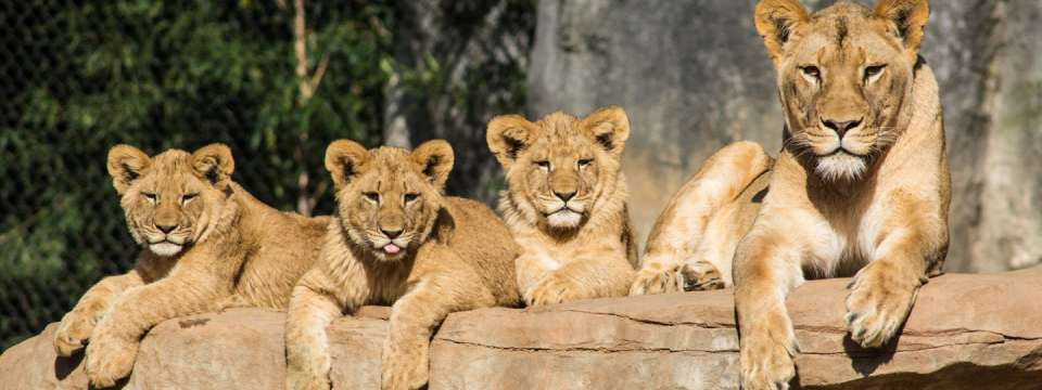 three lion cubs and their mother