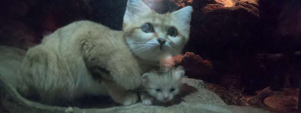 Sand Cat Kitten with Mother