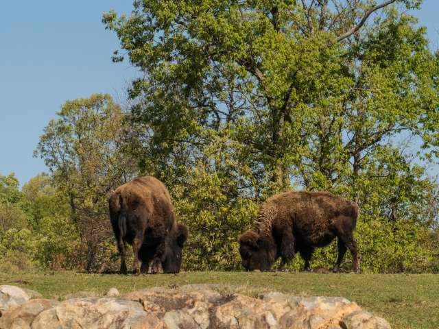 Four bison on prairie habitat