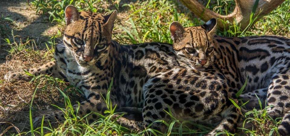 Two ocelots