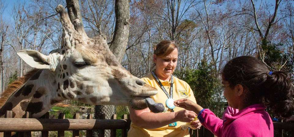 Young girl feeds a giraffe with a volunteer at North Carolina Zoo.