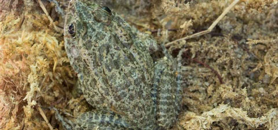 Carolina gopher frog