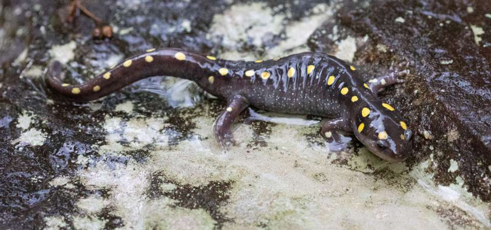 Spotted Salamander Animal Ambassador