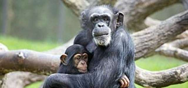 A mama chimp holds a baby chimp