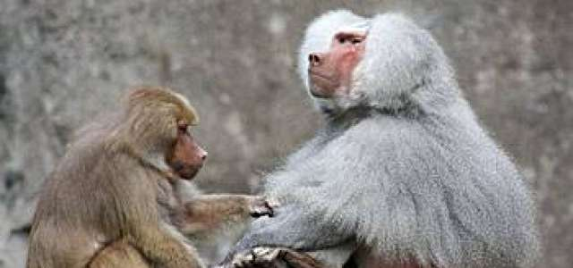 A male baboon is groomed by another