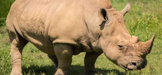Southern white rhinocerous