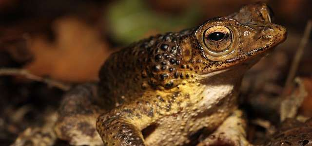 Adult Puerto Rican Crested Toad