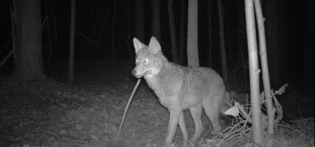 Camera Trap image of a coyote