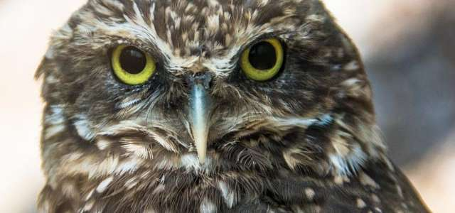 Burrowing owl face