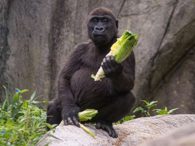 Young gorilla eating lettuce