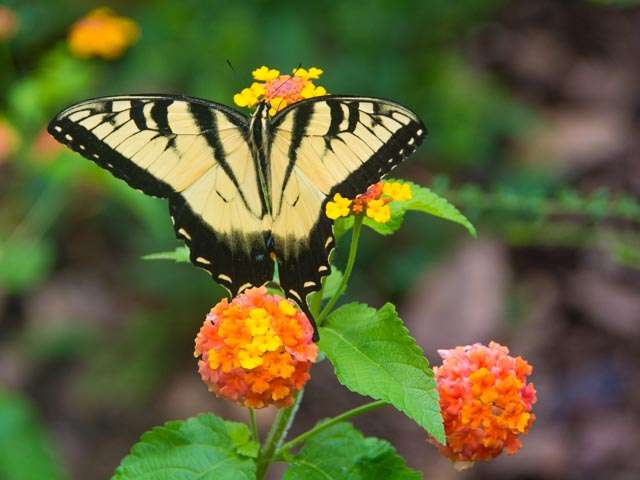 Swallowtail butterfly on lantana plant
